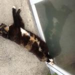 失明した猫 … 本日のルーシーさん