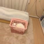 猫 と 洗濯かご