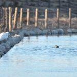 Nikon D90&AF-S 300mm f/1.4 白鷺と鴨