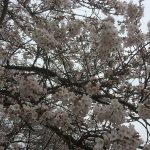 花より焼肉… 2019 幸手権現堂 の 桜まつり